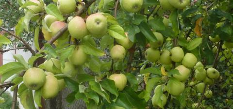 jablka-uvod.jpg